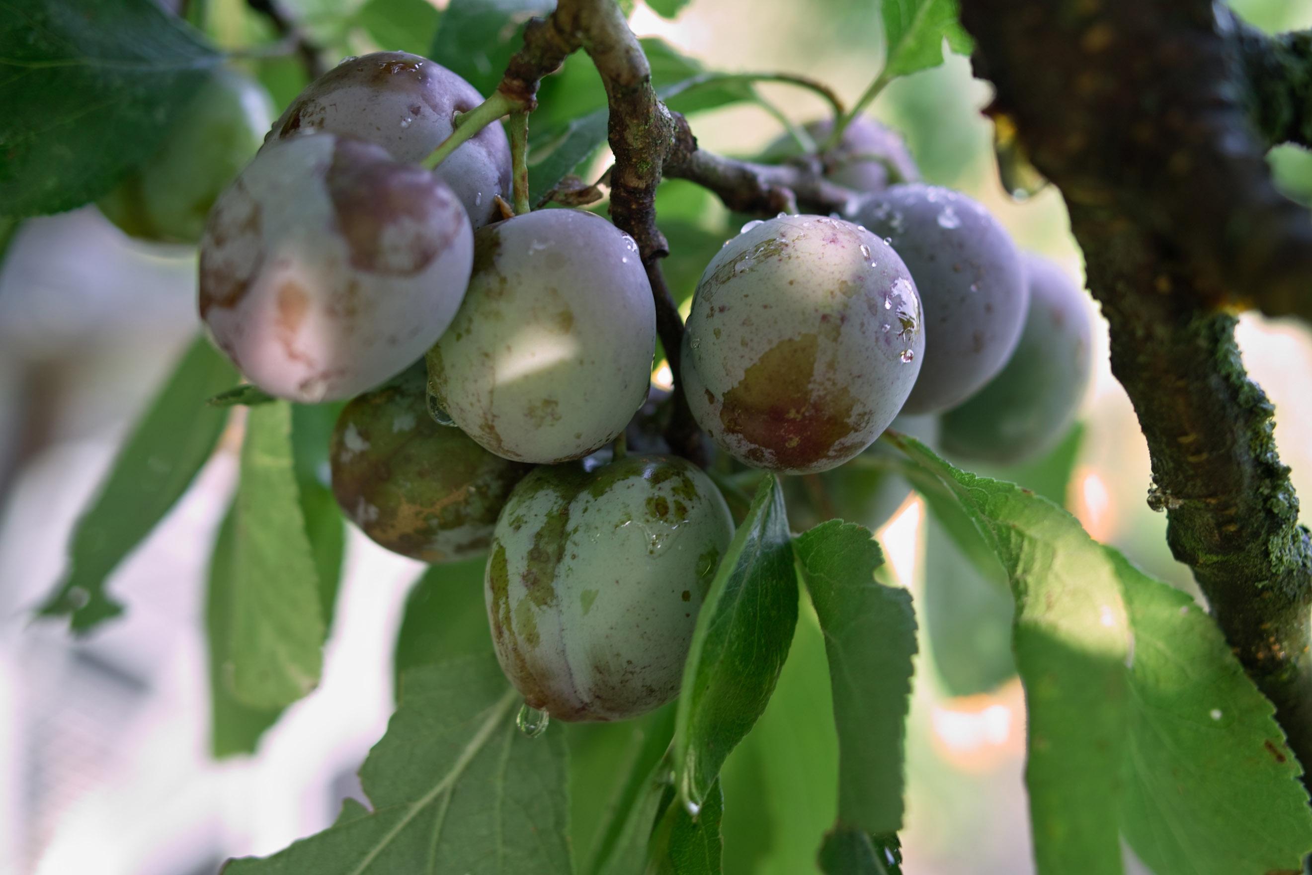 Het verschil tussen pruimen en kwetsen (en oogsten daarvan)