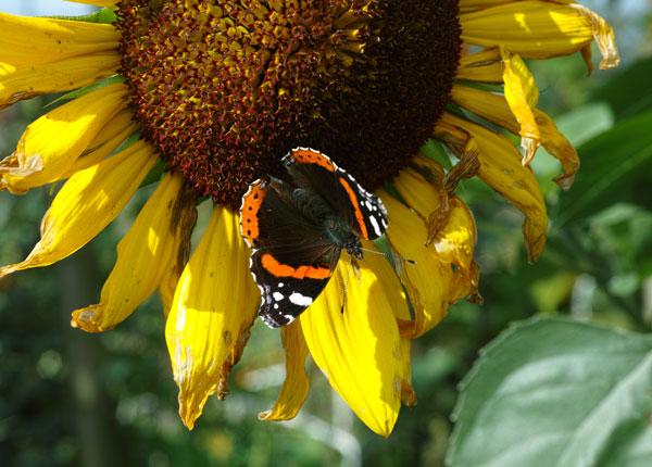 Nectarbar: bijen en vlinders