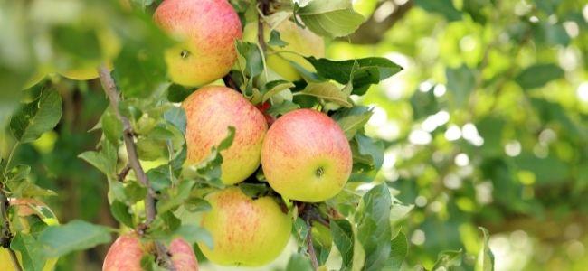 Een uitstekend moment om appels te oogsten