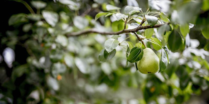 Snoeien van fruitbomen in het voorjaar